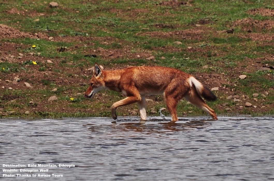 Ethiopian_Wolf_BAle_Mountain_Awazr_Tours.jpg