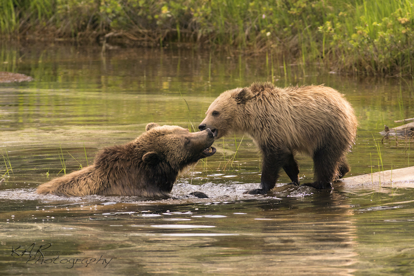 Grizzly bears in Yellowstone. What are Kate and Adams favorite animal to photograph? No question: Grizzlies!
