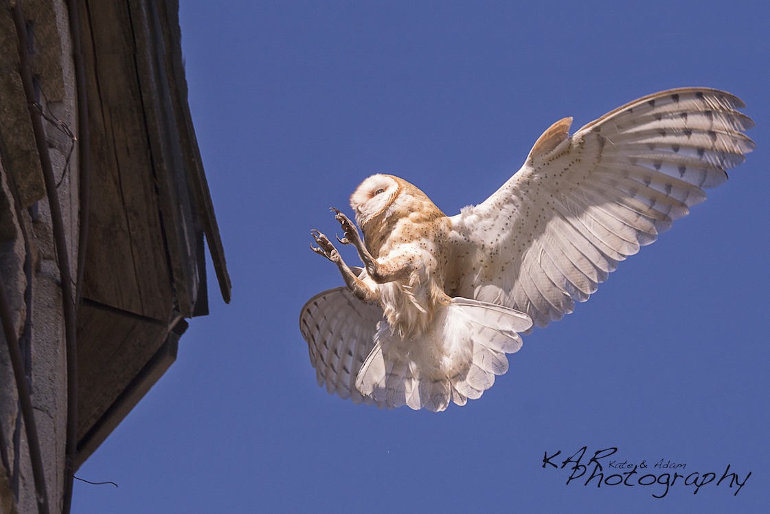 "What is the ""right"" lens for a wildlife photographer? Image: Thanks to Kate and Adam Rice, ©Kar Photography. Barn owl coming in for a landing."