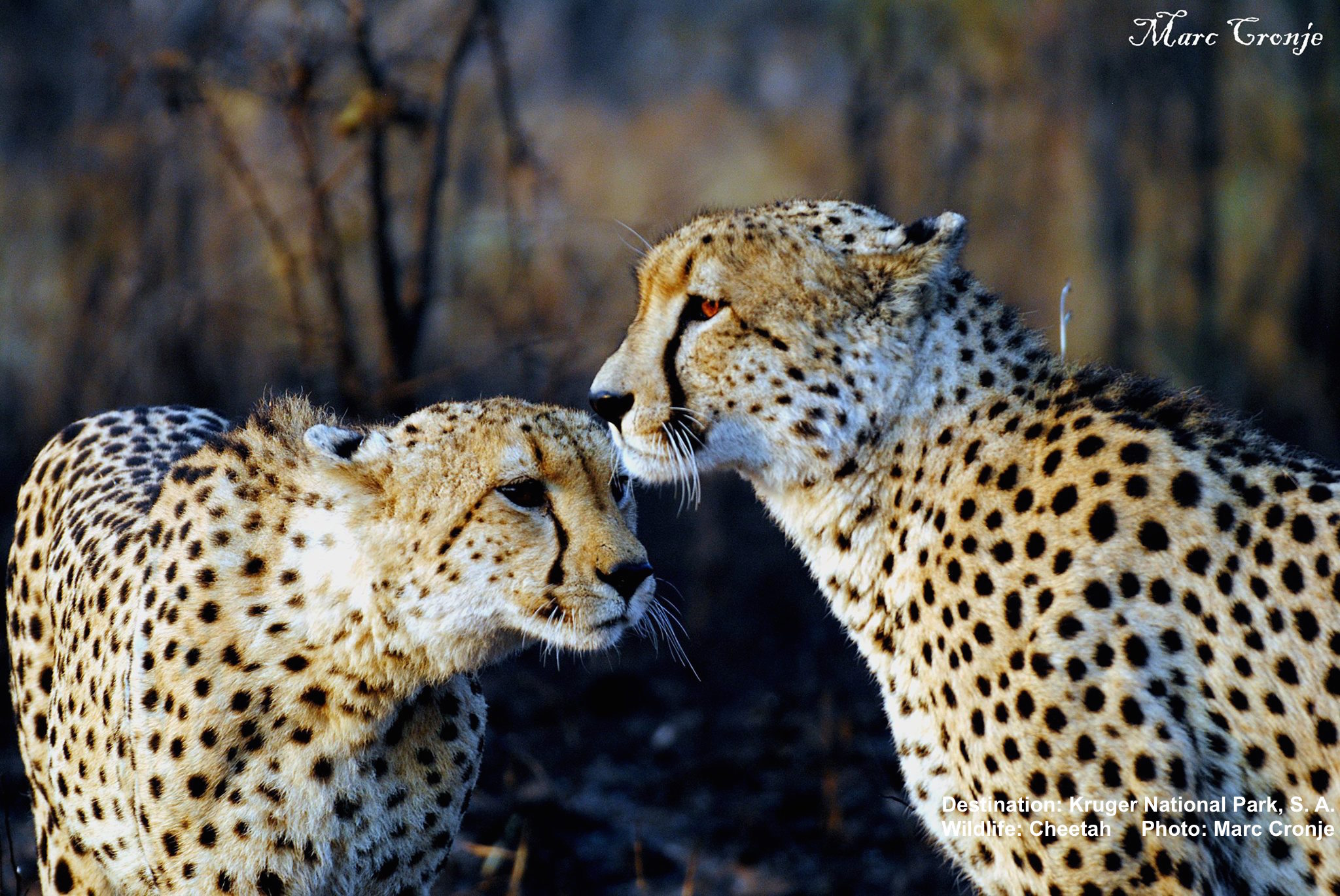 Cheetah mother and cub. Watchng the youngsters grow up is a source of never-ending joy for Marc and his guests. But he has also seen them die through human carelessness (car accidents) and poaching. Image: Marc Cronje, Independent Field Guide.