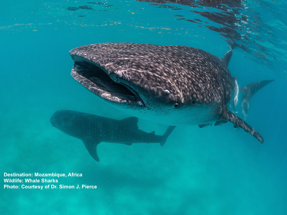Whale_Shark_Civiche_Tours_Mexico