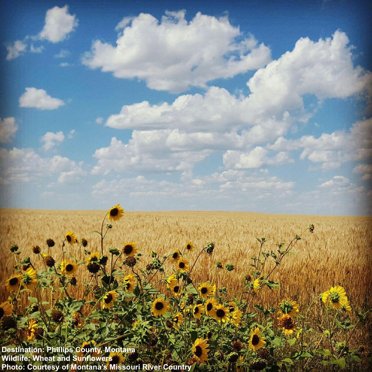 FIELD OF WHEAT AND SUNFLOWERS, NEAR MALTA, PHILLIPS COUNTY, MONTANA. IMAGE: COURTESY OF MONTANA'S MISSOURI RIVER COUNTRY AND THE PHILLCO ECONOMIC GROWTH COUNCIL.