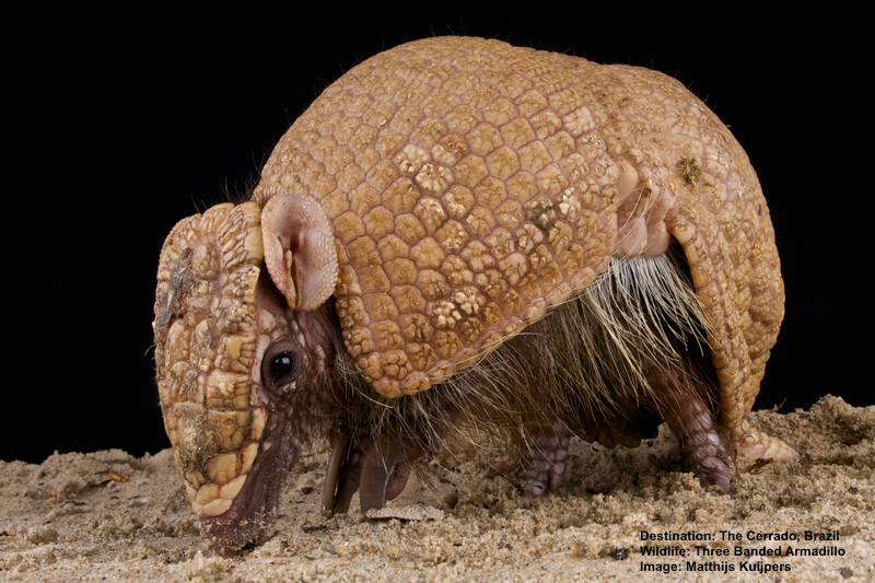 ANOTHER CERRADO NEAR EXTINCTION MIRACLE! THE THREE BANDED ARMADILLO WAS THOUGHT TO BE GONE UNTIL A FEW POPULATIONS WERE FOUND. THEY ARE ONLY IN THE CERRADO. IMAGE:  © MATTHIJAKOIPERS⎮DREAMSTIME.COM