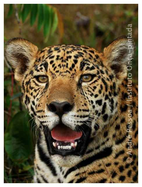 JAGUAR IS THE ONLY CAT IN THE NEW WORLD THAT CAN ROAR. PHOTO: ANDRE PESSOA FOR JAGUAR CONSERVATION FUND.