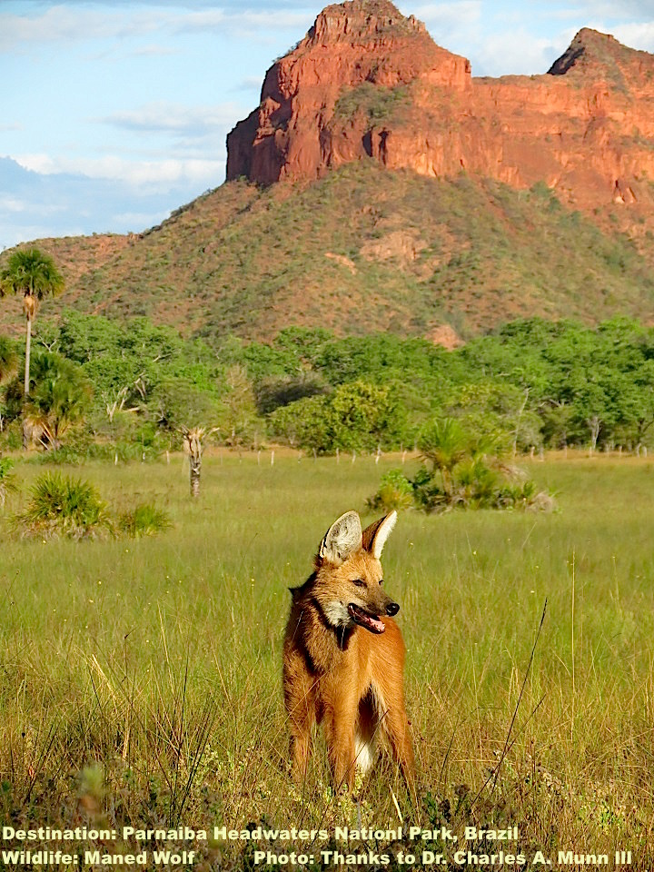 MANED WOLVES ARE BUILT TALL TO LOOK OVER CERRADO'S GRASSLANDS. PHOTO: THANKS TO ©DR. CHARLES A. MUNN III & SOUTHWILD WOLF CAMPS.
