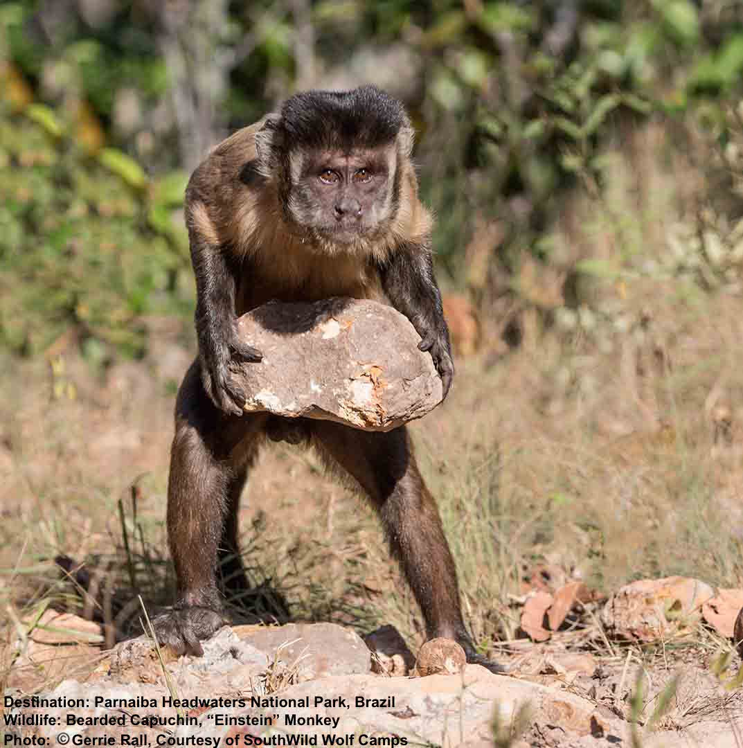 """THE SMARTEST MONKEYS IN THE WESTERN HEMISPHERE ARE THE CAPUCHINS - BUT THE SMARTEST OF THE SMART, A SINGLE TROUPE, ARE CALLED """"EINSTEIN"""" MONKEYS. ONLY IN PARNAIBA HEADWATERS NATIONAL PARK, BRAZIL PHOTO: ©GERRIE RALL, COURTESY OF SOUTHWILD WOLF CAMPS."""