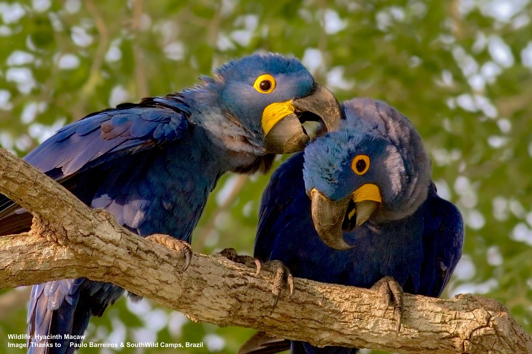 HYACINTH MACAWS MATE FOR LIFE AND SEEM QUITE AFFECTIONATE AT TIMES. IMAGE: ©PAULO BARREIROS THANKS TO SOUTHWILD, BRAZIL.