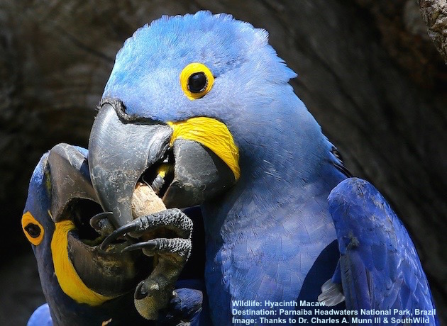 HYACINTH MACAW'S STRONG, SHARP BEAK CRACKS OPEN PALM NUTS WITH AMAZING SPEED. IMAGE: THANKS TO © DR. CHARLES A. MUNN & SOUTHWILD.