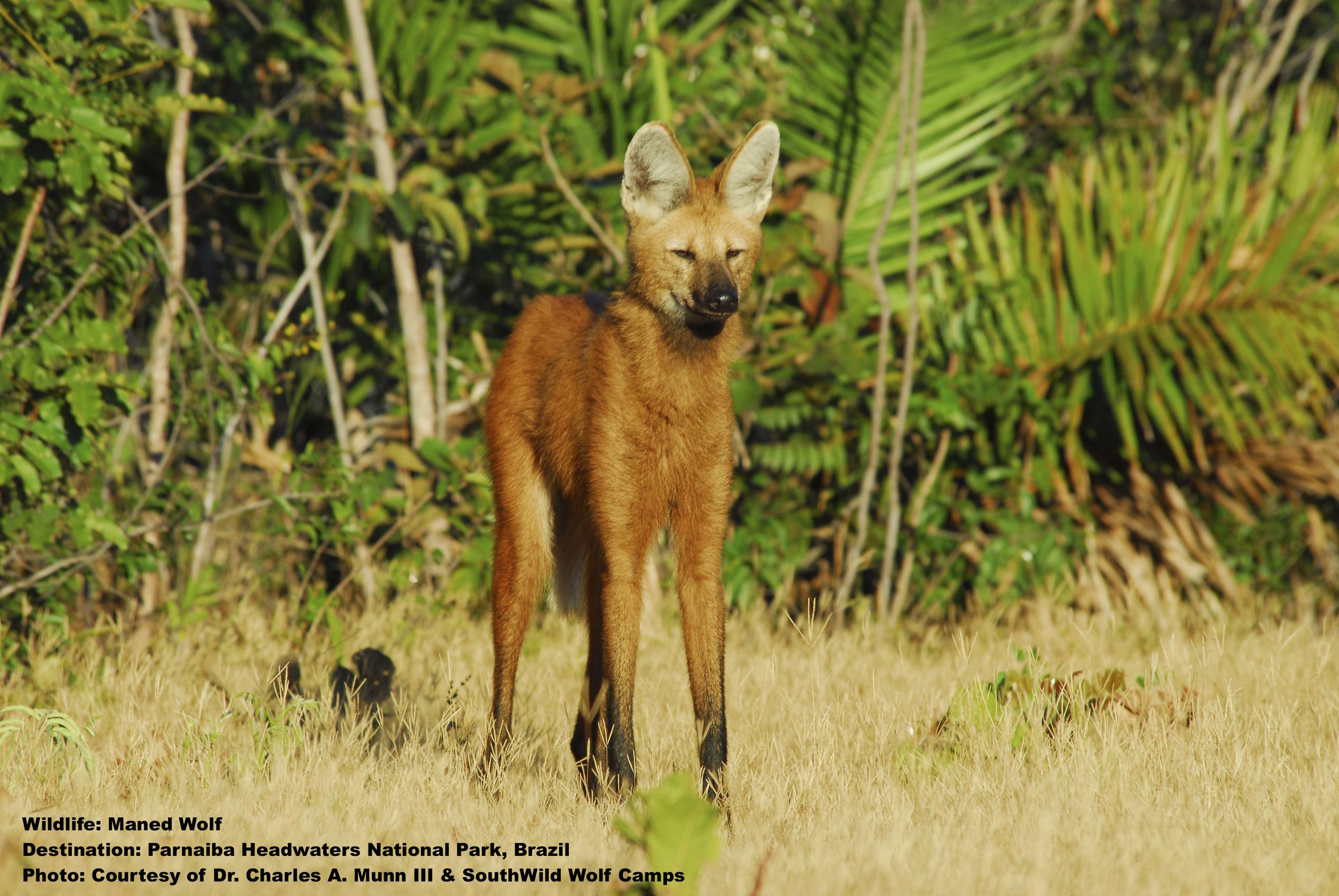 MANED WOLVES  REGULARLY VISIT THE WOLF CLIFF CAMP. YOUR HOST, MAURO OLIVIERA, WILL MAKE SURE YOU HAVE A FRONT ROW SEAT TO EXPERIENCE THESE SHY, BEAUTIFUL, AND THREATENED CREATURES. IMAGE: THANKS TO ©DR. CHARLES A MUNN AND SOUTHWILD, BRAZIL.