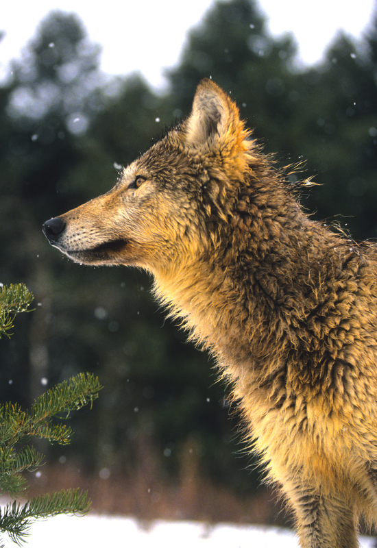 WOLVES ARE QUITE SHY, THEY WOULD RATHER AVOID HUMANS. IMAGE:  ©TWILDLIFE⎮DREAMSTIME.COM