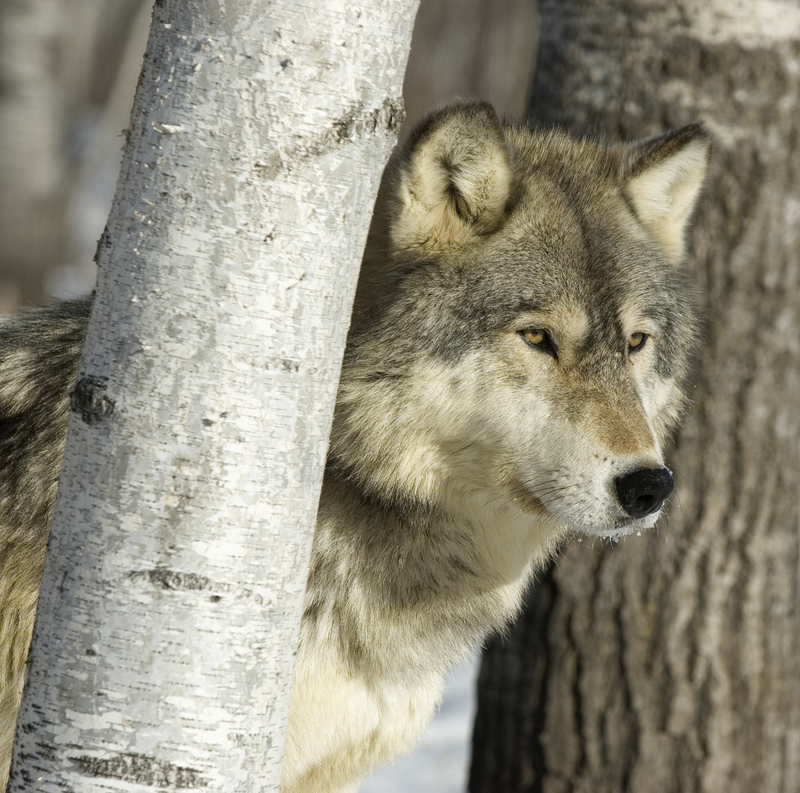 THIS FELLOW WAS PHOTOGRAPHED IN MINNESOTA WHERE SPORT HUNTING FOR WOLVES IS NOW BANNED. BUT THEY ARE STILL ALLOWED TO BE KILLED BY THE AUTHORITIES IN DEFENSE OF HUMAN OR LIVE STOCK. IMAGE:  ©OUTDOORSMAN⎮DREAMSTIME.COM