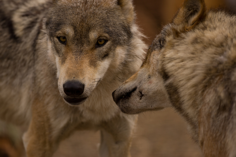 THANKS TO THE  EUROPEAN UNION HABITAT DIRECTIVE OF 1992 , GRAY WOLVES, BEAR, LYNX & OTHER SPECIES ARE RETURNING.  ©GRAHAMTAYLOR ⎮DREAMSTIME.COM