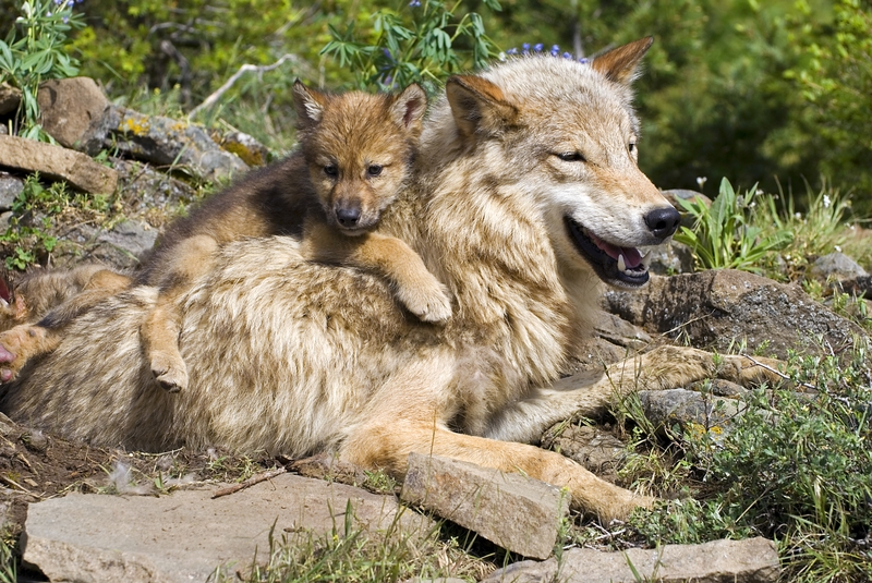 WOLF CUBS ARE DEPENDENT ON THEIR MOTHERS AND/OR THE PACK FOR AT LEAST A YEAR, ALTHOUGH THEY BEGIN TO JOIN THE HUNT AT 6 TO 7 MONTHS OLD. WOLVES ARE SOCIAL, PLAYFUL, ANIMALS AND SEEM TO ENJOY THE COMPANY OF PACK MATES THROUGH OUT THEIR LIVES. IMAGE:  ©DESIGNPICSSUB⎮DREAMSTIME.COM