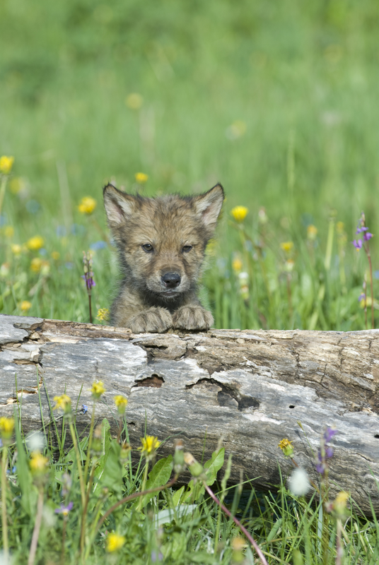 THE ENTIRE PACK, BOTH MALE AND FEMALE WOLVES CARE FOR THE CURIOUS AND PLAYFUL CUBS. IMAGE:  ©OUTDOORSMAN⎮DREAMSTIME.COM