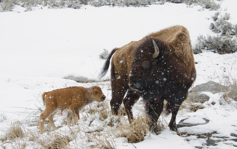 YELLOWSTONE WAS FAMOUS FOR ITS BISON LONG BEFORE THE WOLVES WERE REINTRODUCED. WINTER IS A GREAT TIME TO VEIW BOTH SPECIES. IMAGE:  ©BIRDIEGAL717⎮DREAMSTIME.COM