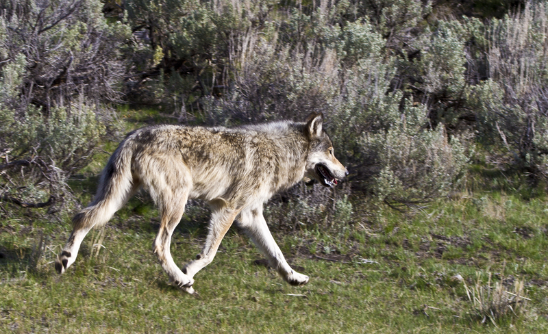 THE WOLVES IN YELLOWSTONE HAVE MADE AN AMAZING RECOVERY AND ARE HELPING RESEARCHERS DEFINE JUST HOW IMPORTANT APEX PREDATORS ARE TO AN ECOSYSTEM. LOOK FOR THEM IN THE LAMAR VALLEY.  ©SILVERPINERANCH⎮DREAMSTIME.COM