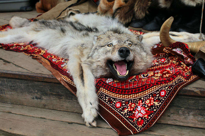 WOLVES ARE HUNTED ENTHUSIASTICALLY IN RUSSIA. THIS PELT WAS FOUND IN THE IZMYLOVA FLEA MARKET ON THE OUTSKIRTS OF MOSCOW. IMAGE:  ©JULIA161⎮DREAMSTIME.COM