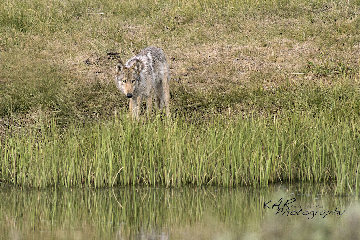THE NORTHWEST WOLF, SOMETIMES CALLED THE MACKENZIE VALLEY, THE CANADIAN TIMBER, OR THE ROCKY MOUNTAIN WOLF WAS REINTRODUCED FROM ITS MORE NORTHERN RANGE INTO YELLOWSTONE. IMAGE: COURTESY OF  KAR PHOTOGRAPHY  READ THEIR INTERVIEW & SEE MORE WILDLIFE IMAGES  HERE