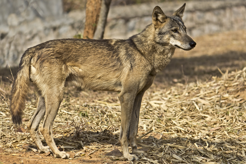 INDIAN WOLF, ALTHOUGH PROTECTED, ARE WIDELY PERSECUTED (HUNTED, POISONED) AND CAN REASONABLY BE FOUND ONLY IN GHATIGAON WILDLIFE SANCTUARY, MAHYDA PRADESHIMAGE:  ©BAYAEV71⎮DREAMSTIME.COM