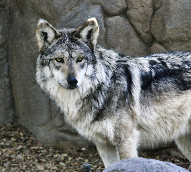 CAPTIVE BREEDING PROGRAMS, LIKE THIS ONE AT THE LIVING DESERT IN PALM SPRINGS, CALIFORNIA ARE HELPING TO SAVE THE MEXICAN GRAY WOLF FROM EXTINCTION. image:  ©Lon Dean⎮Dreamstime.com