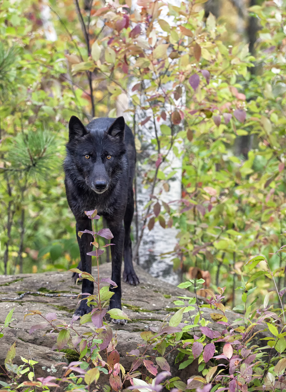 ALL BLACK COLORING MAY HAVE BEEN A RESULT OF WOLF/DOMESTIC DOG MATING 30,000 YEARS AGO. IMAGE:  ©LYNN BYSTROM⎮DREAMSTIME.COM.