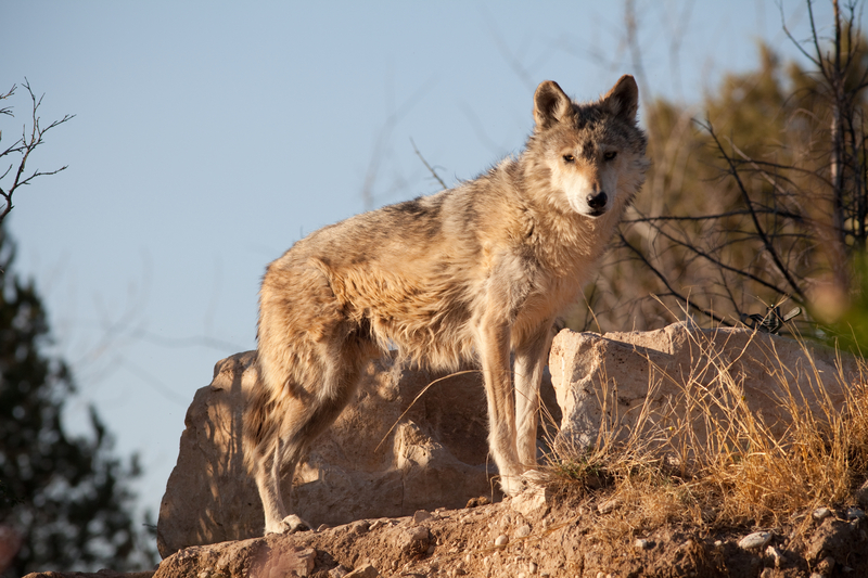THE MEXICAN GRAY WOLF IS MAKING A COMEBACK, BUT IS NOT OUT OF THE PROVERBIAL WOODS YET. MUCH ACTIVE OPPOSITION TO THEIR REINTRODUCTION BY RANCHERS, ESPECIALLY THOSE USING FEDERAL LANDS TO GRAZE LIVESTOCK, REMAINS STRONG. RESPONSIBLE WILDLIFE TOURISM IN NEW MEXICO AND ARIZONA MAY HELP. IMAGE:  ©GNAGEL⎮DREAMSTIME.COM