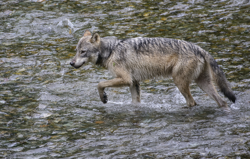 ALEXANDER ARCHIPELAGO WOLF IS A SWIMMER AND FISH EATER, UP TO 20% OF THEIR DIET IS SALMON. DECLARED A SUBSPECIES IN 1937, THEIR STATUS IS UNDER SCRUTINY AS NEW MITOCHRONDIAL DNA EVIDENCE POINTS TO A CLOSE RELATIONSHIP TO  CANIS LUPUS NUBILUS , THE GREAT PLAINS WOLF. IMAGE:  ©JORN VANGOIDTSENHOVEN⎮DREAMSTIME.COM