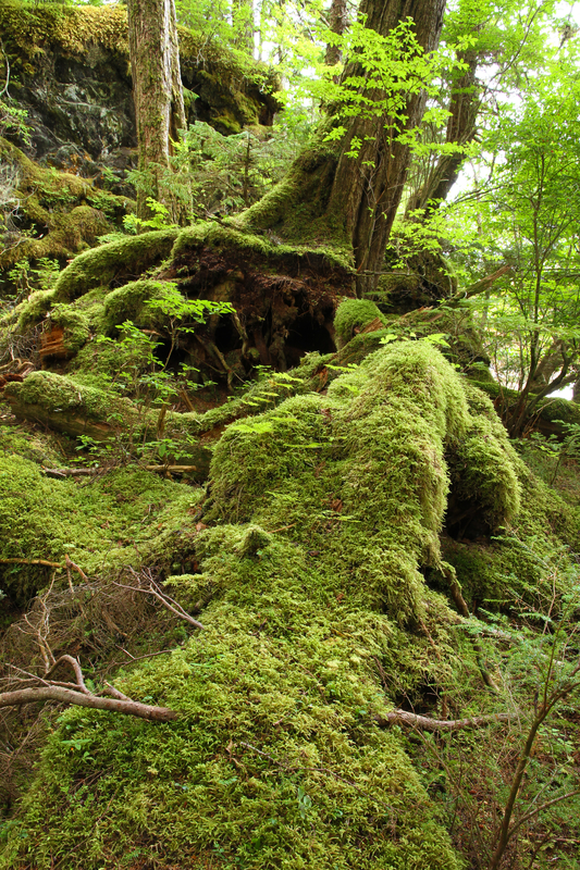 THE UNIQUE ECOLOGY OF THE OLD GROWTH, TEMPERATE RAINFOREST, TONGASS NATIONAL FOREST, CREATES A HABITAT NOT FOUND ANYWHERE ELSE IN THE WESTERN HEMISPHERE. IMAGE:  ©LINDA BAIR⎮DREAMSTIME.COM