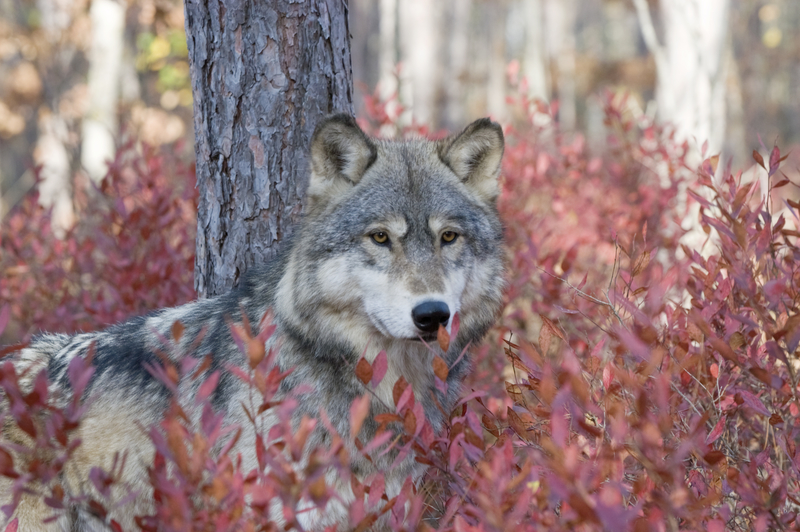 """THE IUCN DESIGNATION OF 'LEAST CONCERN' DOES NOT MEAN """"NO CONCERN NECESSARY."""" WOLF NUMBERS ARE DIFFICULT TO DISCERN AND VARY GREATLY FROM SOURCE TO SOURCE. IS THIS THIS FELLOW STILL AROUND? HE WAS PHOTOGRAPHED IN ALASKA'S DENALI NATIONAL PARK WHERE WOLF HUNTING IS STILL ALLOWED AND THRIVING. IMAGE:  ©OUTDOORSMAN⎮DREAMSTIME.COM"""