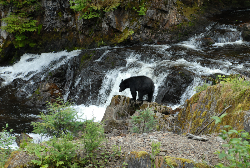 A BLACK BEAR CHECKS OUT THE FISHING OPPORTUNITY ON PRINCE OF WALES ISLAND. THERE ARE NO BROWN (GRIZZLY) OR POLAR BEARS ON THE ISLAND. IMAGE:  ©BROOKLYNBOY ⎮DREAMSTIME.COM