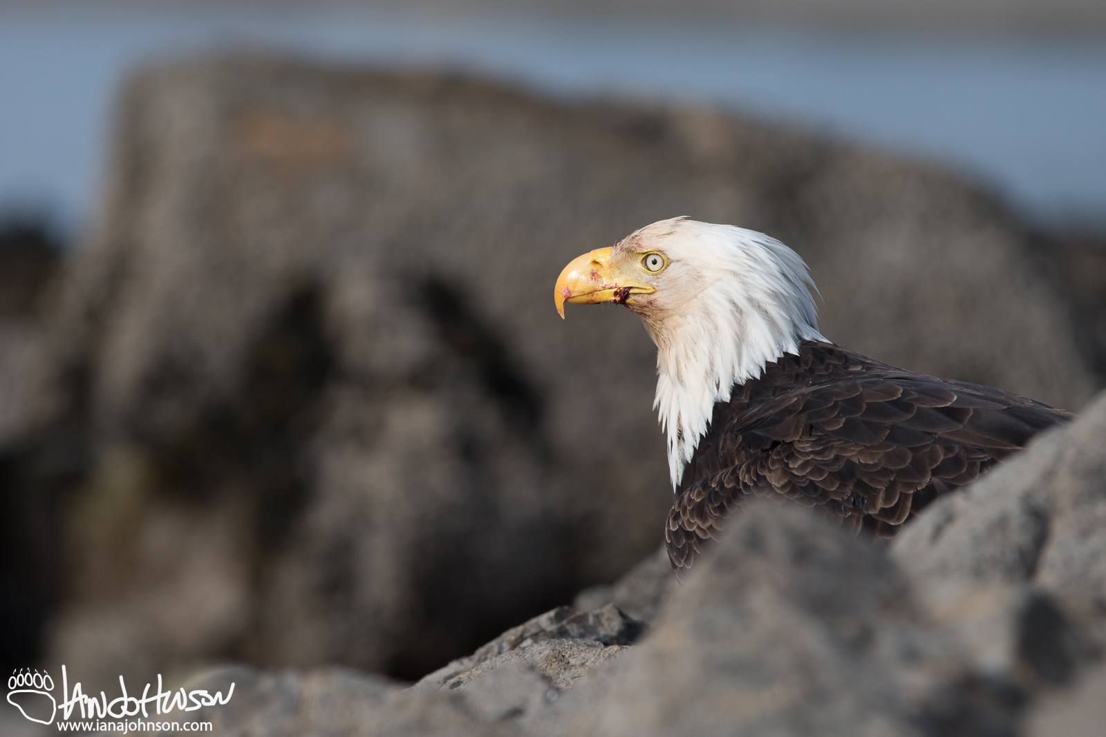 ALASKA HAS THE WORLD'S LARGEST POPULATION OF BREEDING PAIRS OF BALD EAGLES. LOOK FOR THESE BOLD FISH EATERS HIGH IN THE OLD GROWTH TREES ALONG RIVERS AND STREAMS ON PRINCE OF WALES ISLAND. IMAGE:COURTESY OF ©IAN A. JOHNSON, WILDLIFE PHOTOGRAPHY