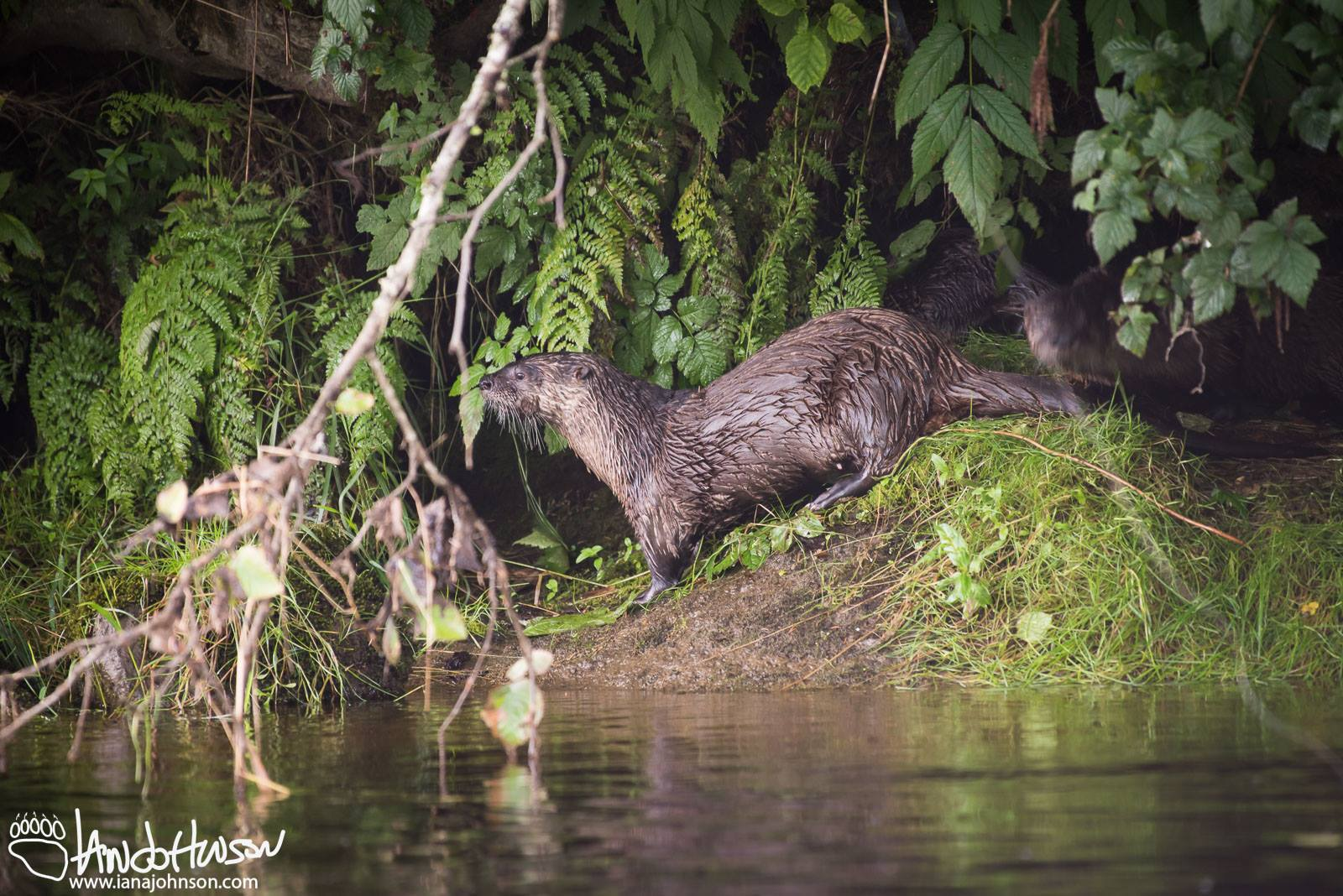 """RIVER OTTERS LIVE IN FAMILY UNITS WITH A SET OF PARENTS, YOUNG AND SOMETIMES """"HELPERS"""". WATCH THEIR ANTICS ALONG THE FRINGES OF THE FRESHWATER STREAMS, LAKES AND BEACH EDGES. THEIR ACTUAL DEN MIGHT BE UP TO A HALF MILE FROM THE WATER IN """"BORROWED"""" BURROWS OR NATURAL CAVITIES AND SNAGS. IMAGE: COURTESY OF  © IAN A. JOHNSON , WILDLIFE PHOTOGRAPHY"""
