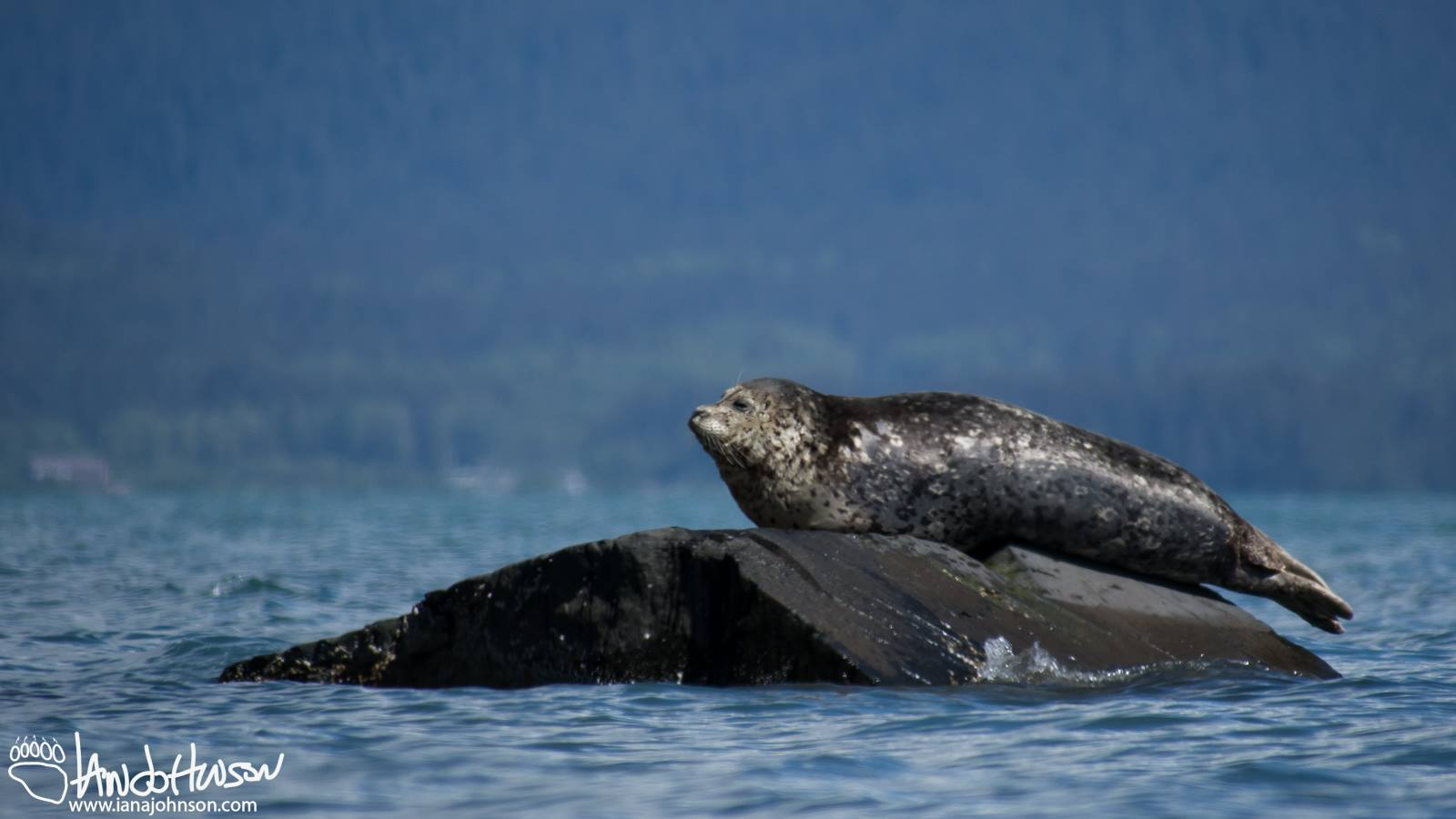 A HARBOR SEAL RESTS ON A ROCK. THEY ARE REGULARLY VISITORS TO THE WATERS AROUND CRAIG AND NEAR COFFMAN COVE, AND AT NOYES ISLAND TO THE WEST OF PRINCE OF WALES ISLAND. IMAGE COURTESY OF IAN A. JOHNSON, WILDLIFE PHOTOGRAPHY.