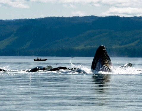 THE VIEW FROM THE PORCH AT WHALE POINT CABIN, COFFMAN COVE. HUMPBACKS BUBBLE FEEDING IN THE BAY. IMAGE: THANKS TO WHALE POINT CABIN.