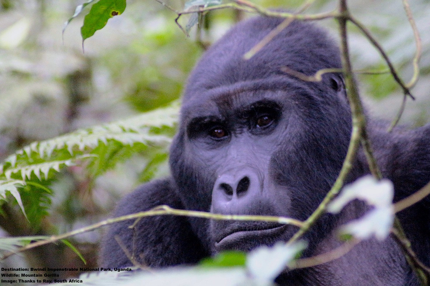 THIS SILVERBACK LETS NOTHING ESCAPE HIS STEADY GAZE, THE LEADER OF THE RUSHEGURA FAMILY GROUP WATCHES THE WATCHERS. IMAGE: THANKS TO RAY