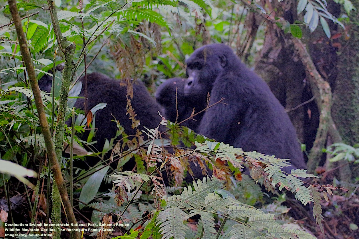"""THE RUSHEGURA FAMILY GROUP, ALSO CALLED """"GROUP R"""" ARE ONE OF 11 HABITUATED MOUNTAIN GORILLA GROUPS IN BWINDI. IMAGE: THANKS TO RAY."""