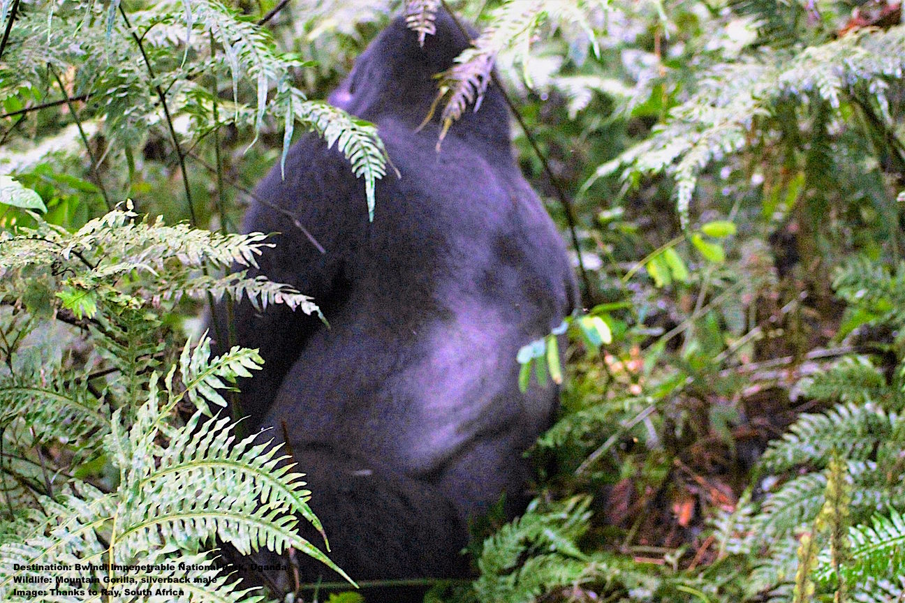 THANKFULLY, THE FOREST IS NOT IMPENETRABLE TO THESE AMAZING CREATURES, THE RUSHEGURA SILVERBACK LEADS THE WAY. IMAGE: THANKS TO RAY.