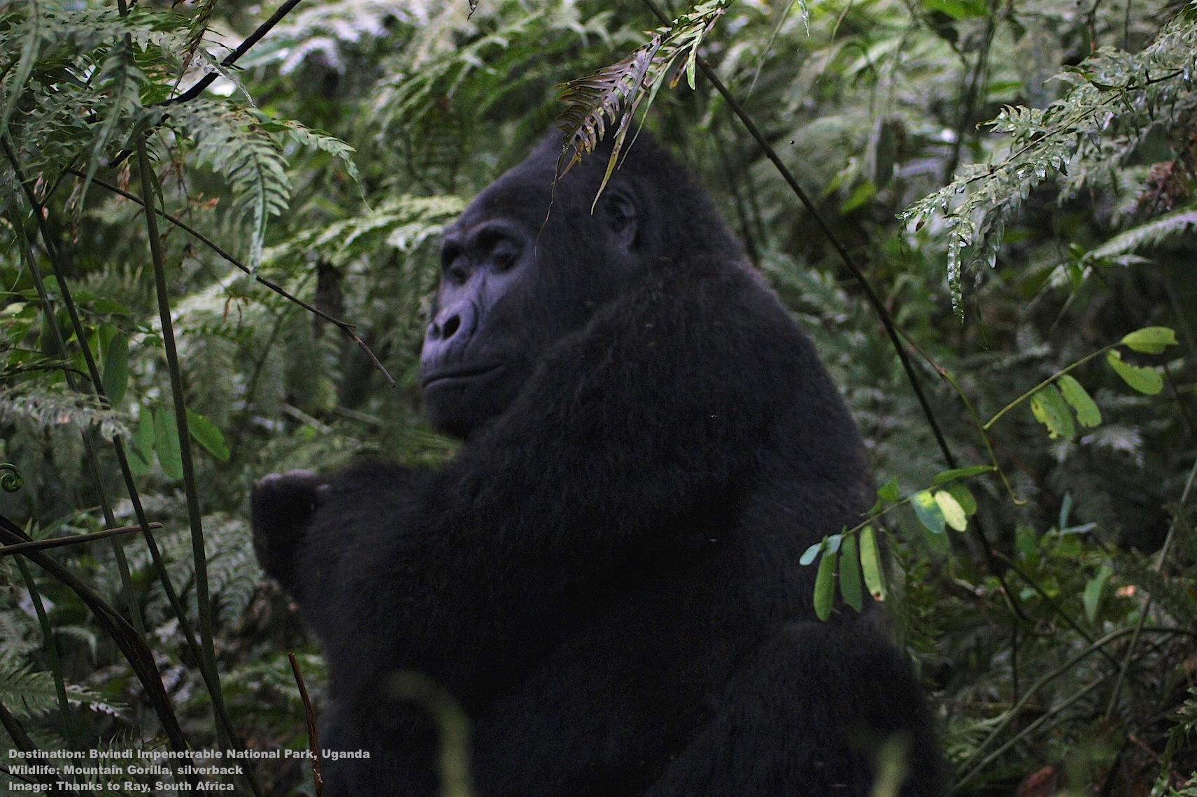 Bwindi-Impenetrable-forest-national-park-uganda-mountain-gorilla-HRC.jpg