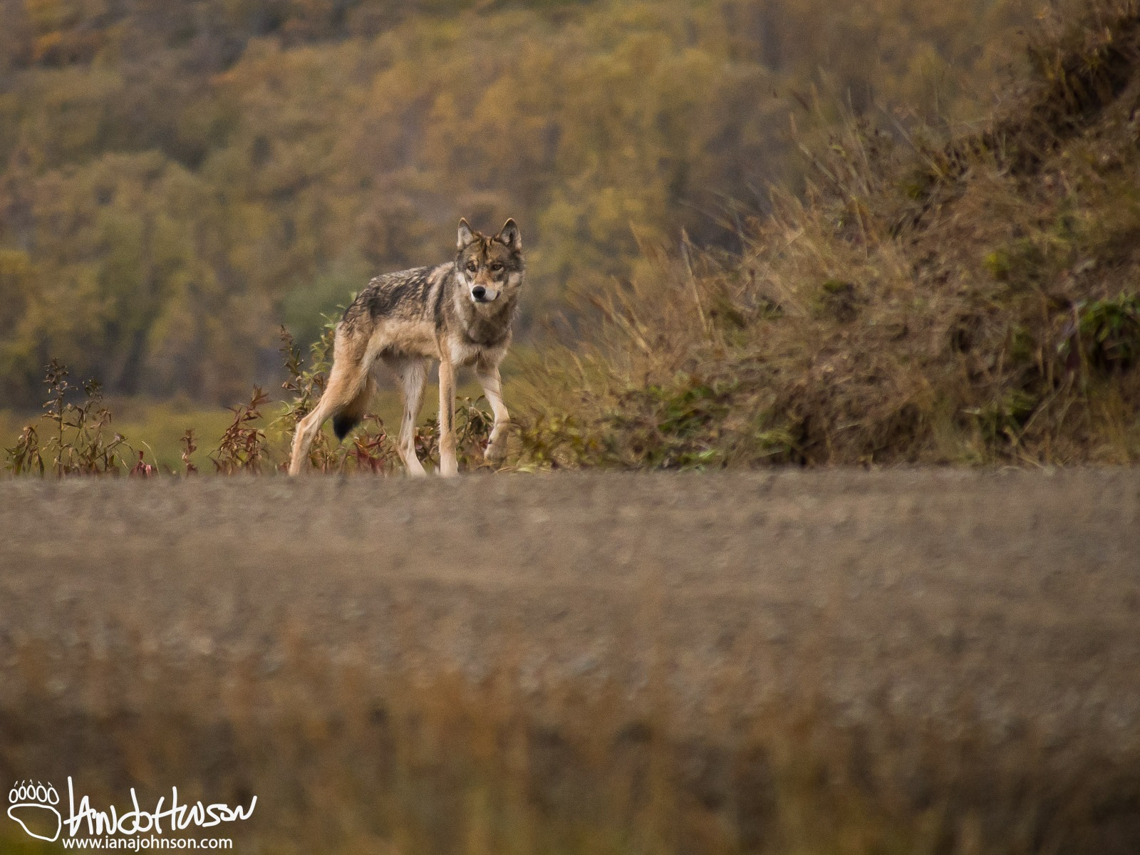 THE PHOTOGRAPHER WAS BIKING IN DENALI NATIONAL PARK, ALASKA WHEN HE CAUGHT THIS GREY WOLF WATCHING. MAN AND WOLF PARTED WITHOUT INCIDENT. IMAGE: THANKS TO IAN A. JOHNSON, LIFE, WILDLIFE AND WILD-LIFE.