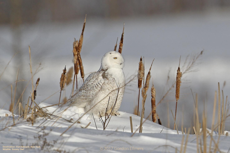 snowy owls winter in the preserved grasslands of fort edward, new york Image: Gordon Ellmers.