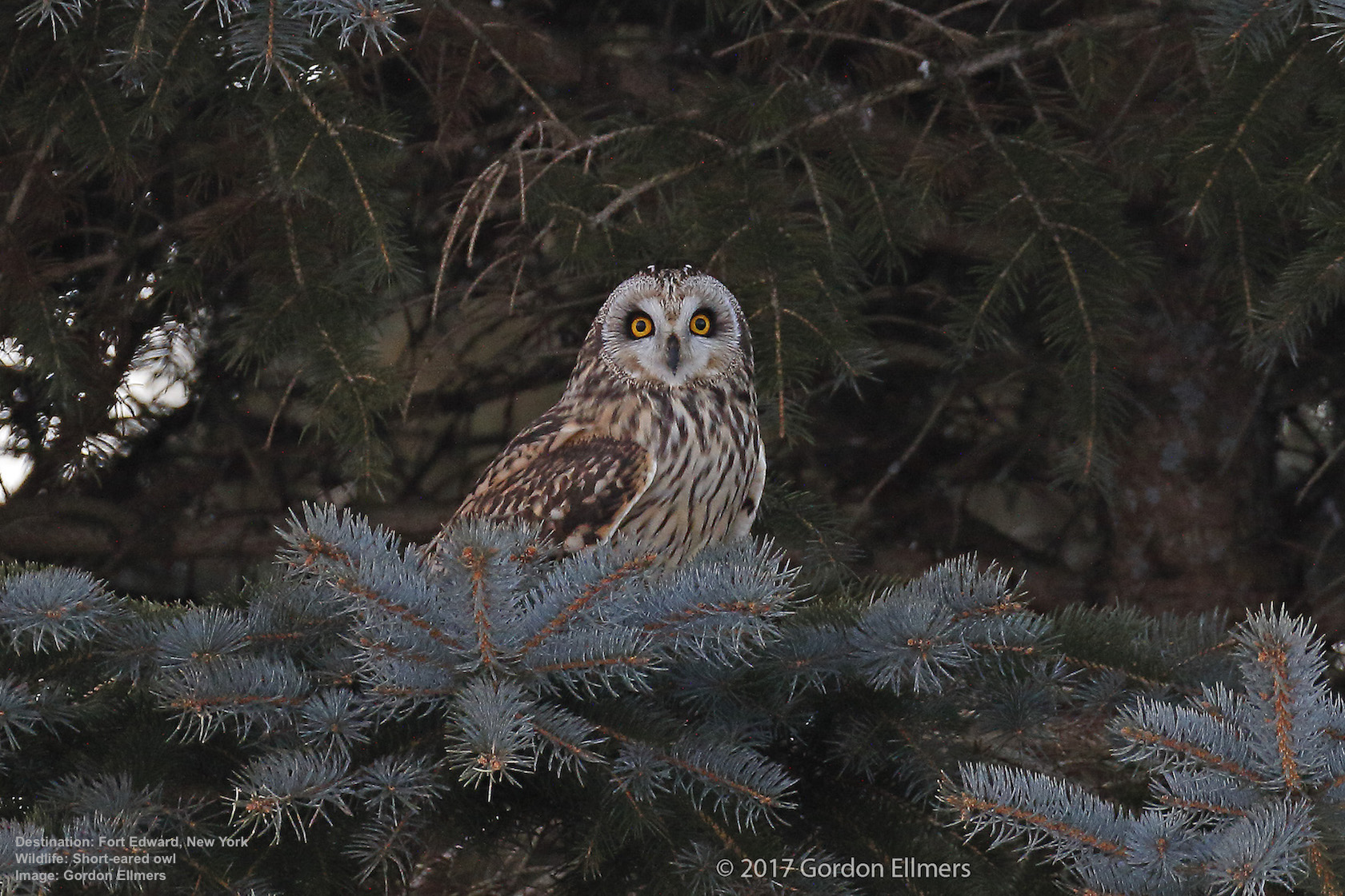 THREATENED SHORT EARED OWLS RECENTLY THEY RETURNED TO WINTER IN THE WASHINGTON COUNTY GRASSLANDS OF FORT EDWARD - BUT TOO MUCH NOISE FROM WELL-MEANING OWL LOVERS HAS ALREADY SENT THEM FLYING. USE THE RESPONSIBLE VIEWING PRACTICES BELOW - AND ALWAYS ADD COMMON SENSE. IMAGE: GORDON ELLMERS.