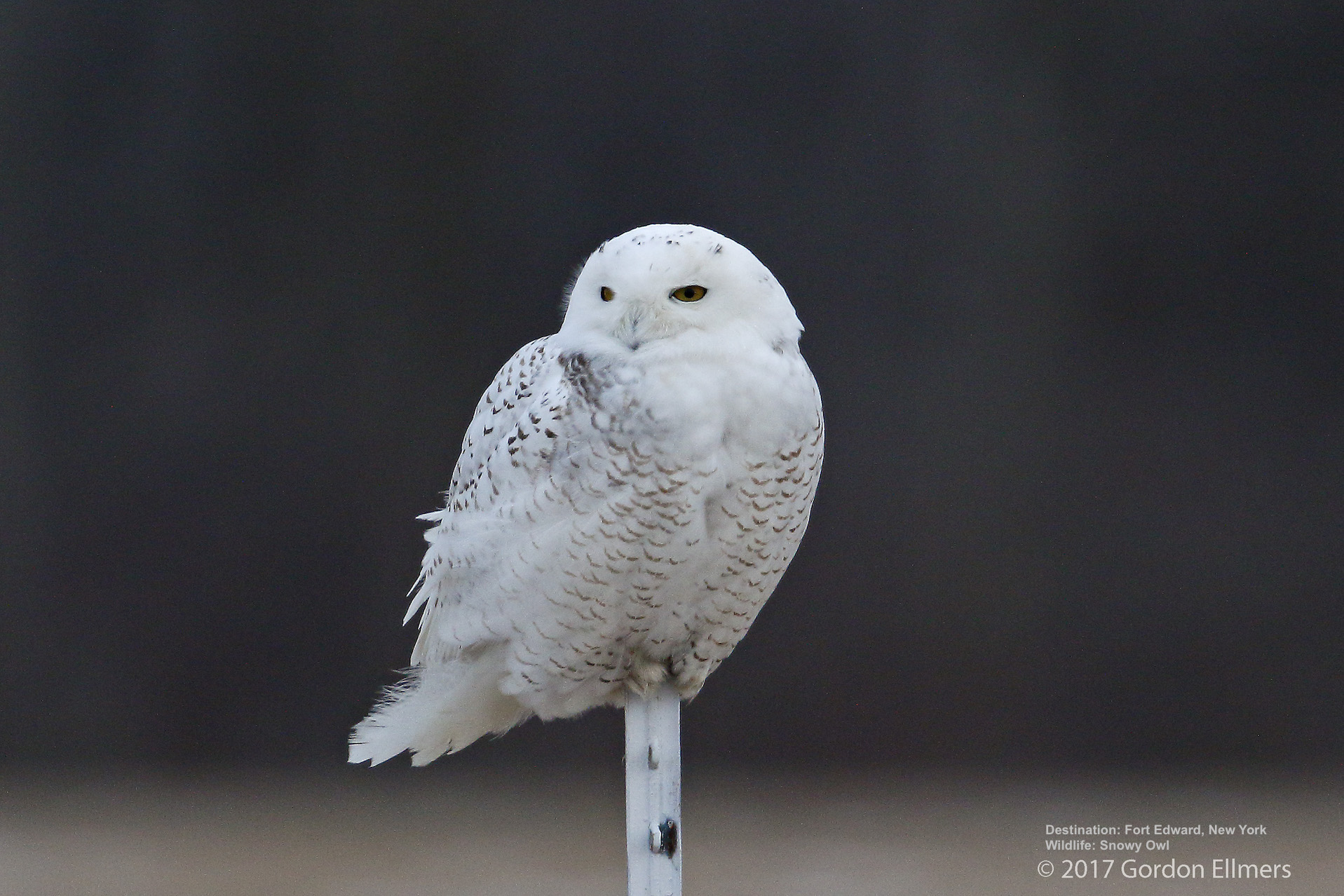 SNOWIES SPEN A LOT OF TIME ON THE GROUND, BUT YOU CAN ALSO FIND THEM PERCHING ON FENCE POSTS OR ON THIS STICK. IMAGE: GORDON ELLMERS