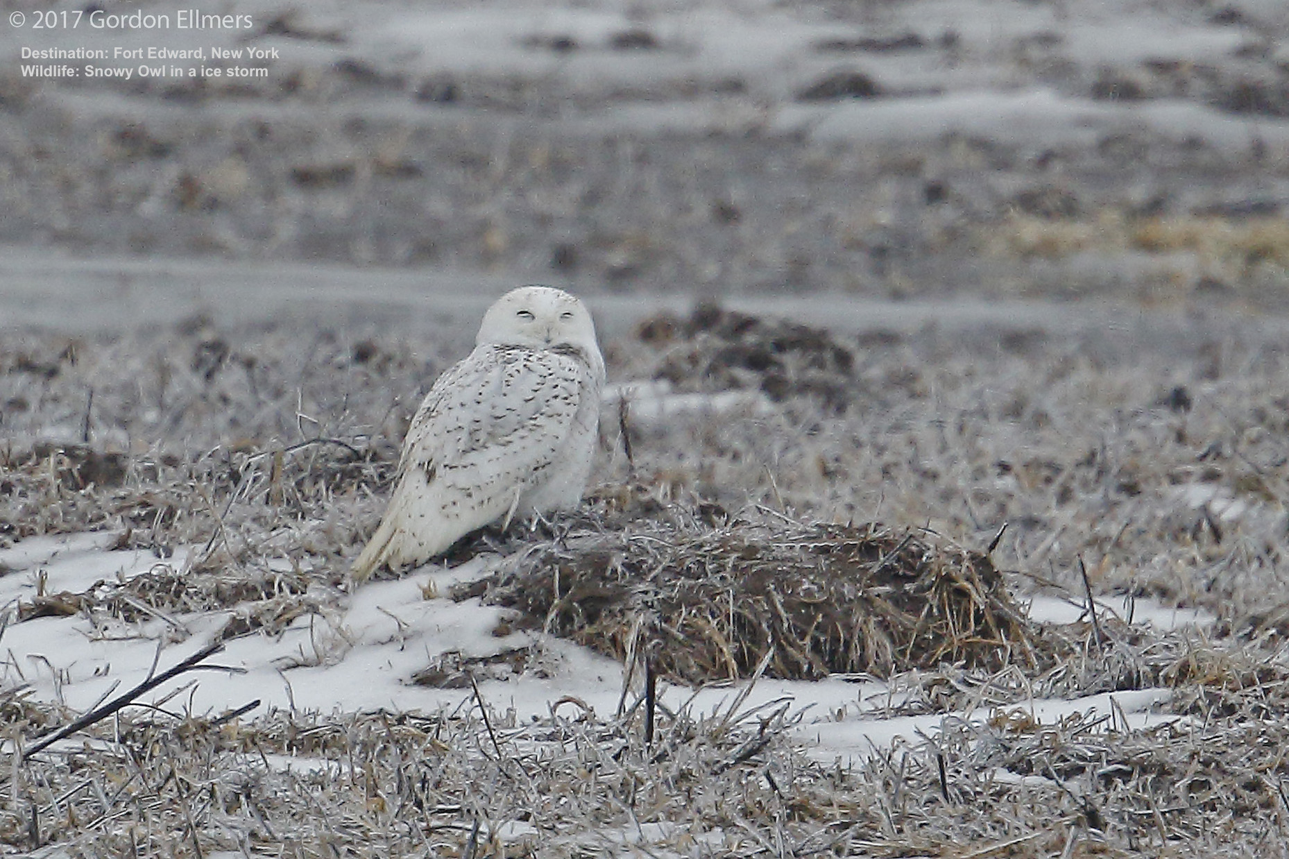 SNOWY OWL BRAVES A WINTER ICE STORM. LOOK CLOSELY, ALTHOUGH THEY ARE NOT THE LARGEST, EXTRA INSULATION MAKE THEM THE HEAVIEST OWL SPECIES. IMAGE: GORDON ELLMERS.