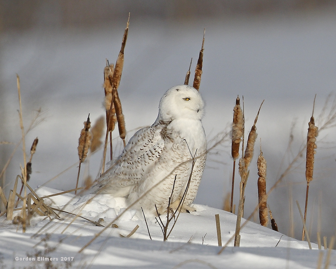 1. x Owl, Snowy in reeds Ft Ed 021417_7 copy.jpg