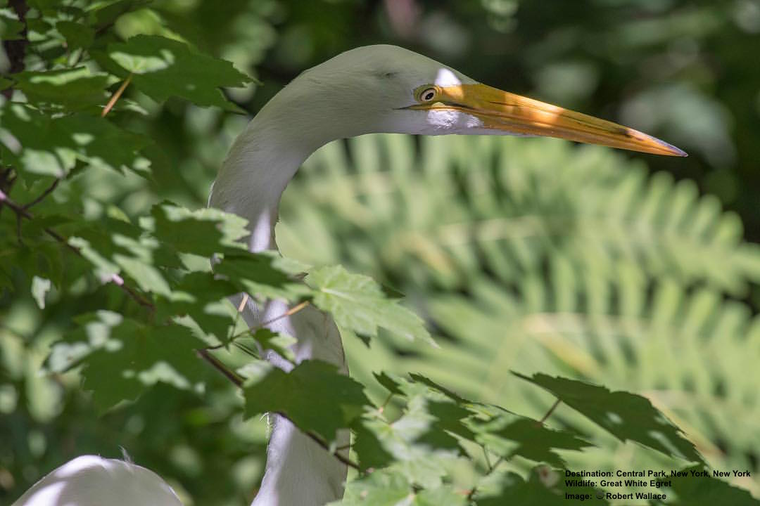 Great White Egret, Central Park  Image: Robert Wallace