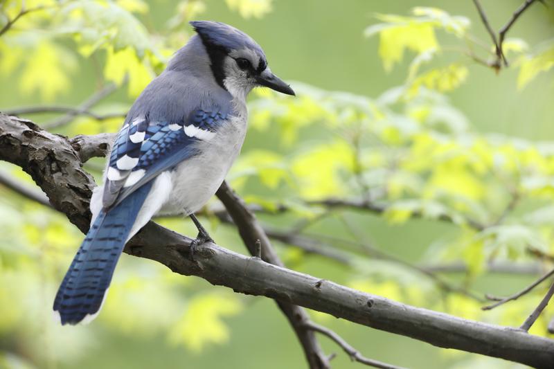 Blue Jay in Central Park. Image: Stubblefielsphoto