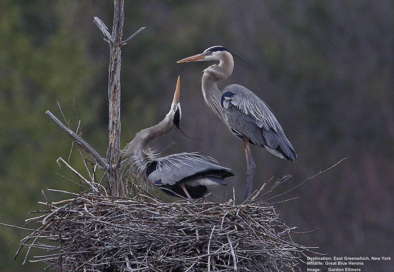 SOME GREAT BLUE HERONS REMAIN ALL WINTER, OTHER MIGRATE FROM AS FAR SOUTH AS PANAMA. THEY NEST HIGH IN TREES NEAR WATER. THEIR LONG GRACEFUL NECKS AND LEGS CREATE A LOVELY NESTING BALLET. IMAGE: THANKS TO GORDON ELLMERS