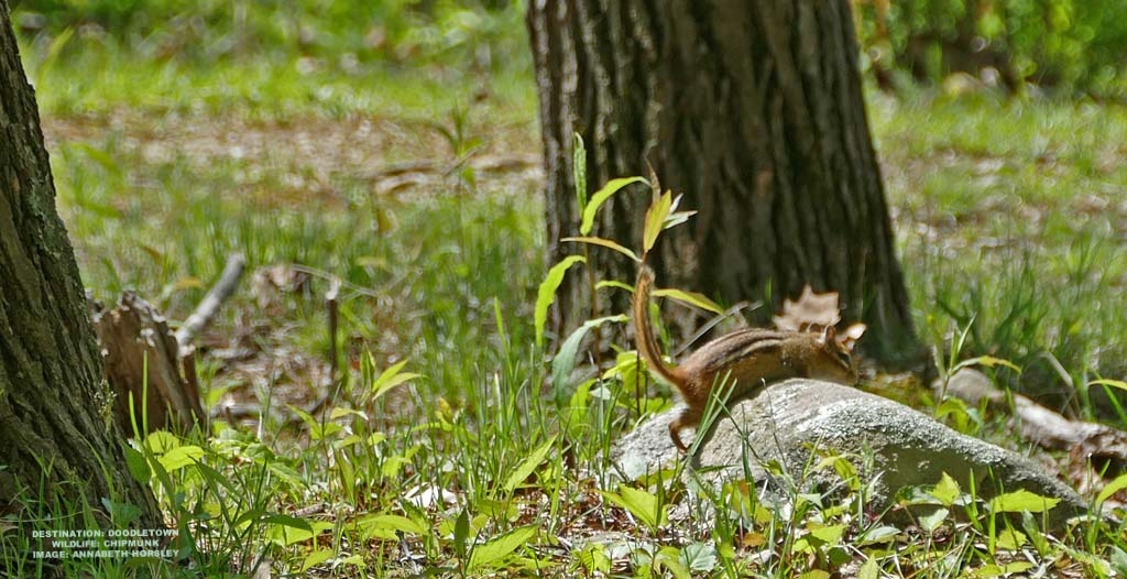 WE WATCHED THIS CHIPMUNK GORGE ON FOREST NUTS UNTIL HE WAS TOO STUFFED TO CLIMB OVER THIS ROCK 'MOUNTAIN' IN HIS PATH. HE FINALLY MADE IT! WE CHEERED. IMAGE: ANNABETH HORSLEY