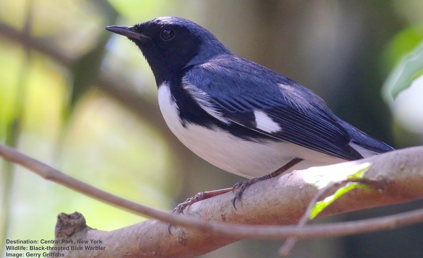 BLACK-THROATED BLUE WARBLERS, LIKE THIS MALE, WINTER IN PANAMA AND THE CARIBBEAN THEN MIGRATE ANNUALLY TO BREEDING GROUNDS IN AS FAR NORTH AS SOUTHERN ONTARIO AND QUEBEC, A JOURNEY OF ABOUT 4600 MILES (7500KM ) IMAGE: THANKS TO GERALD GRIFFITHS AND AVIAN ADVENTURES.