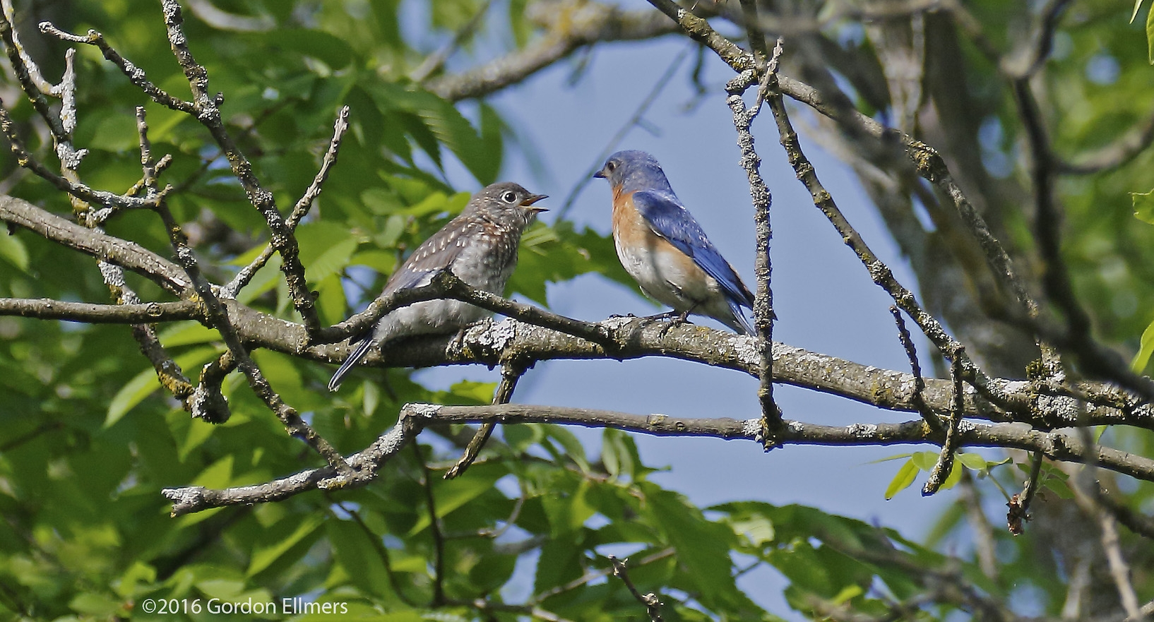 BLUEBIRDS (NEW YORKS'S STATE BIRD), LIKE THIS ADULT AND FLEDGLING, ARE BECOMING YEAR-ROUND RESIDENTS HERE, POSSIBLY DUE TO CLIMATE CHANGE. SARATOGA NATIONAL HISTORIC PARK HAS PLACED 78 TRAIL BOXES WHERE THEY CAN SAFELY NEST. IMAGE: GORDON ELLMERS.